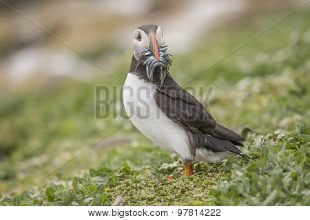 Puffin Fratercula arctica with a mouthful of Sand eels
