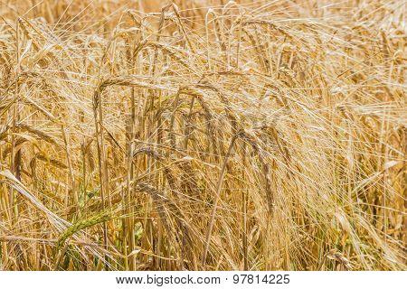 Ripening Barley Closeup