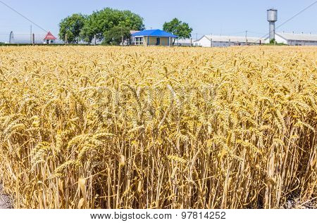 Wheat Field On The Background Of Farm Buildings
