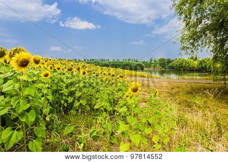Field Of Sunflowers Against The Backdrop Of The Pond