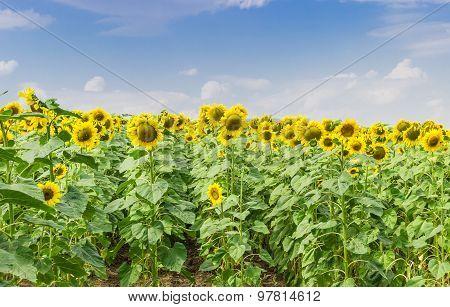 Flower Of Sunflowers