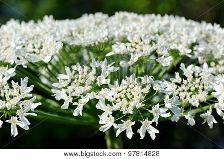 Poisonous Hogweed Flowers Closeup
