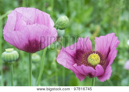 Opium Poppy Flower Closeup