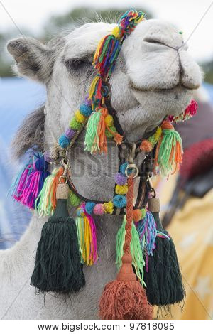 Camels Head With Colorful Bridle