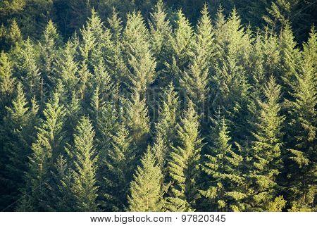 Tree plantation, UK