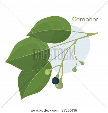 Camphor laurel branch