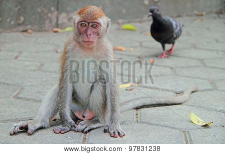 adolescent macaque is sitting on asphalt