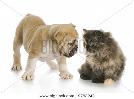 Puppy And Kitten Sniffing