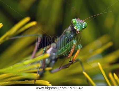 Crying Mantis
