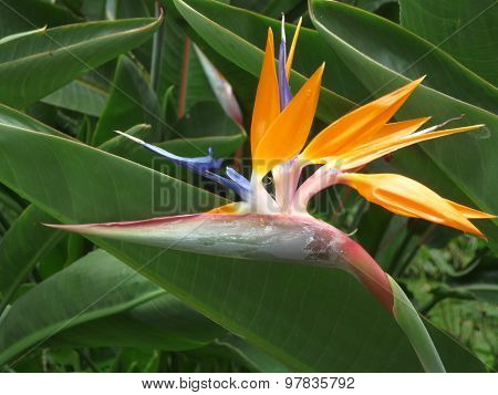 Flower Strelitzia Is A Symbol Of Madeira Island