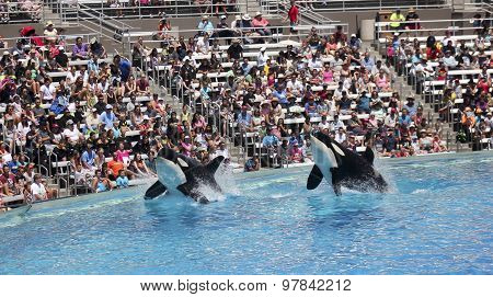 A Killer Whale Pair In An Oceanarium Show