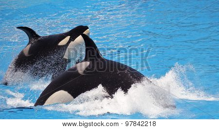 A Killer Whale Pair Porpoise Through Blue Water