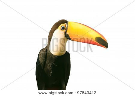 Toucan bird isolated on white.