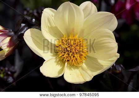 Yellow Dahlia Close Up