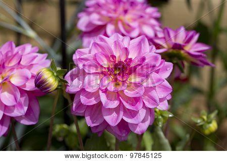 Beautiful Pink Dahlias