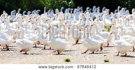goose farm, Czech Republic
