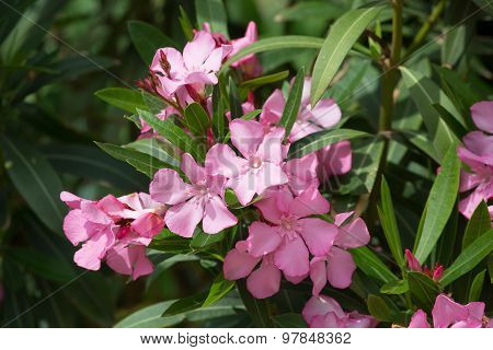 Oleander Branches With Pink Flowers Close Up