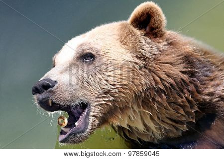 Brown Bear Catches A Bagel