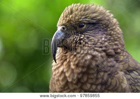 Kea Parrot Portrait