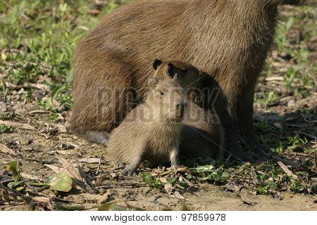 Baby Capybaras