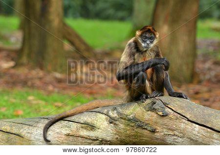 Spider Monkey Sit On A Tree Trunk