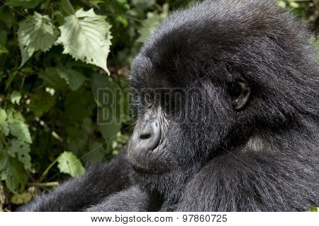 Young Gorilla In The Wild