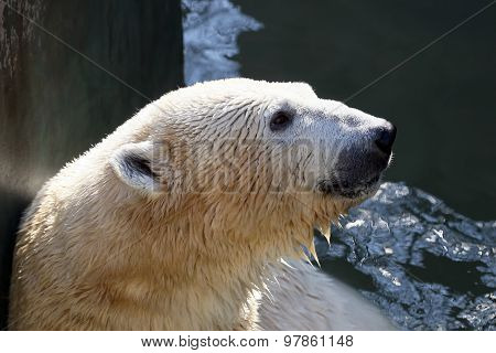 A Portrait Of A Person In The Water The Polar Bear