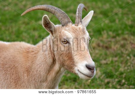 Portrait Of A Male Goat