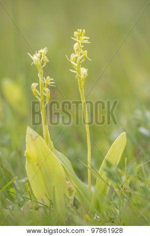 Fen Orchids