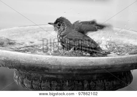 Yellowhammer Having A Bird Shower In Birdbath