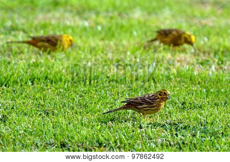 Females Yellowhammers Eating Seeds