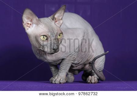 The Studio Photo Of Sphinx Cat