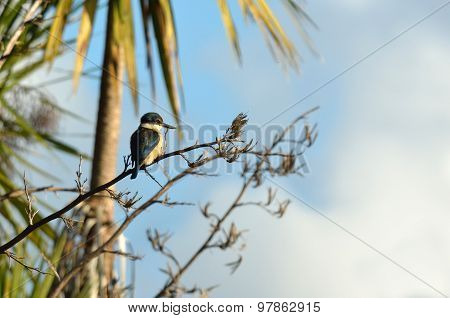 Sacred Kingfisher Sit On A Flax Plant