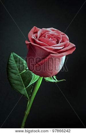 Rose on black background