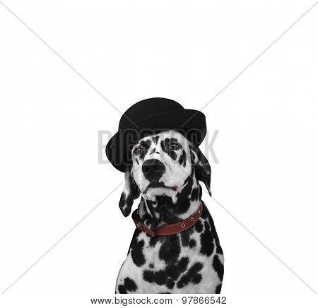 Dalmatian Dog In A Hat Portrait