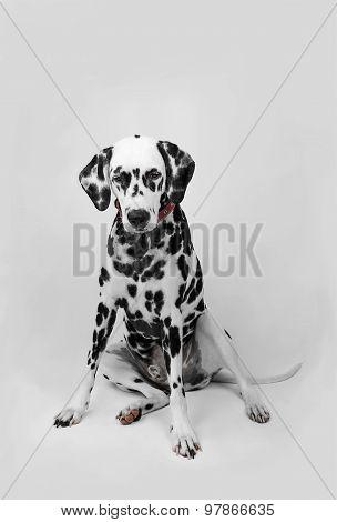 Dalmatian Dog Sitting