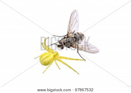 Green Spider Whit Fly On A White Background