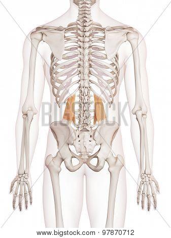medically accurate muscle illustration of the quadratus lumborum
