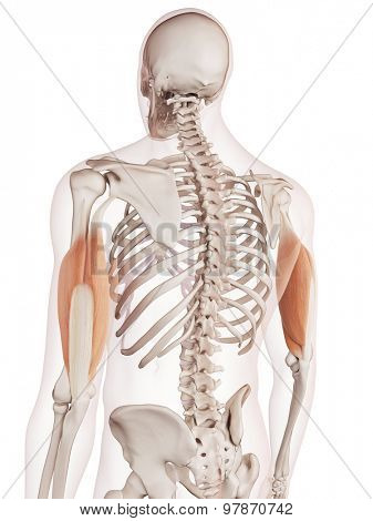 medically accurate muscle illustration of the triceps