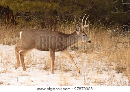 Mule Deer Buck Walking