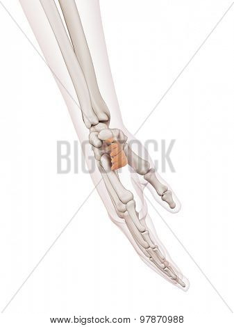 medically accurate muscle illustration of the palmaris brevis