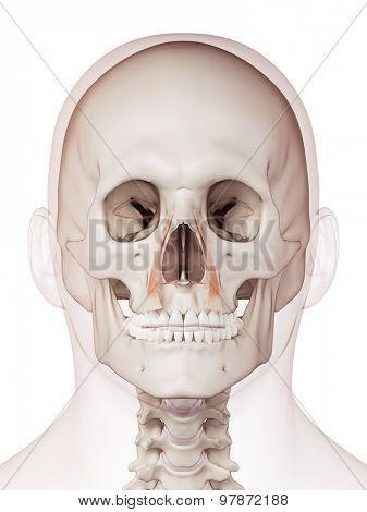 medically accurate muscle illustration of the levator labii superioris alaque nasi