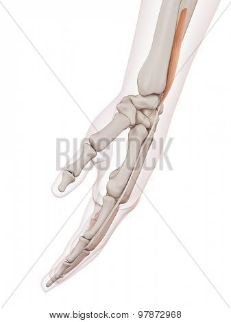 medically accurate muscle illustration of the extensor indicis