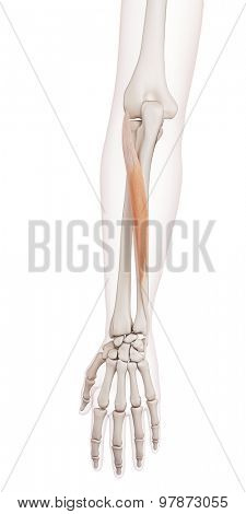 medically accurate muscle illustration of the extensor carpi ulnaris