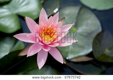 Close up beautiful pink waterlily or lotus flower in pond.
