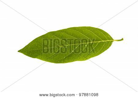 Custard Apple Leaf Isolated