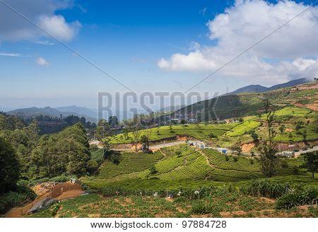 Landscape with green fields of tea