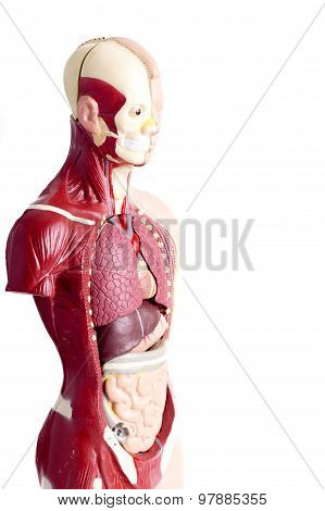 Human Anatomy Model Used In Health Care