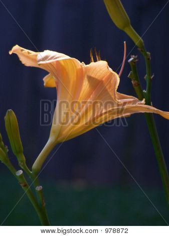 Orange-Yellow Daylily With Black Background And Light Shining Through Flower