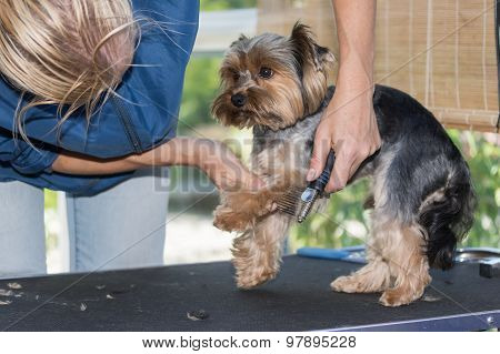 Grooming Of The Yorkshire Terrier